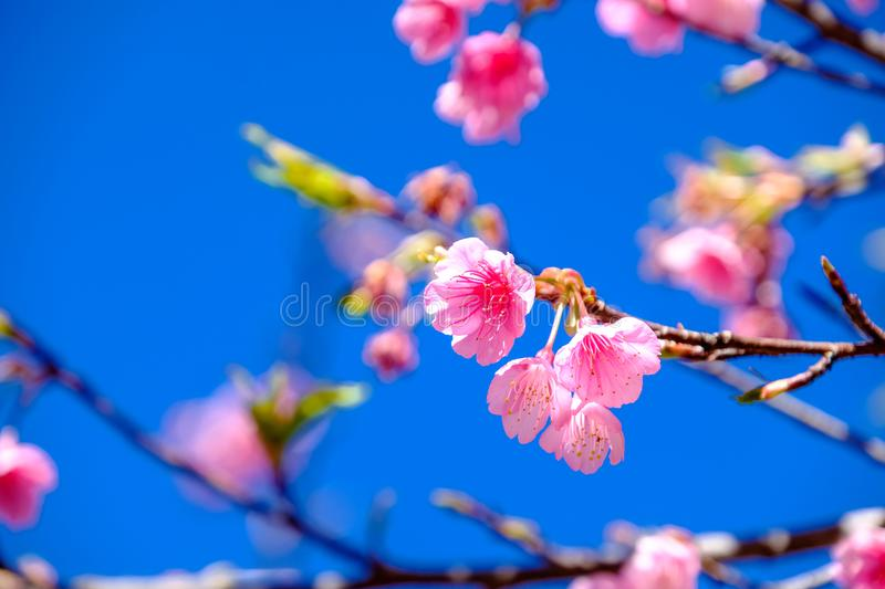 Pink Cherry Blossom Against Blue Sky stock photography