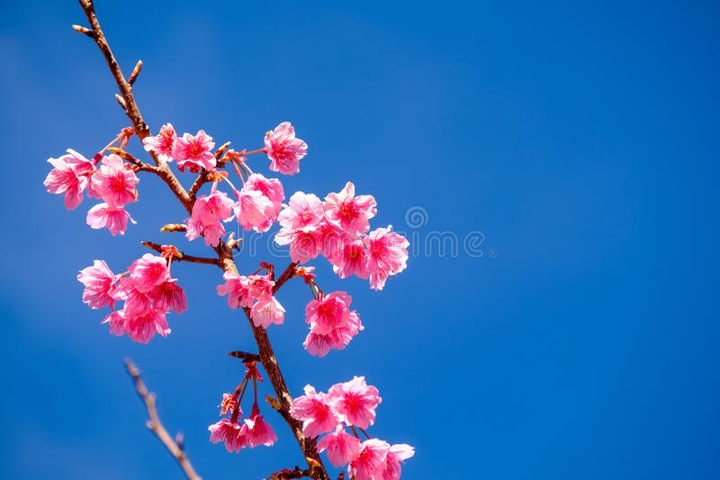 Pink Cherry Blossom Against Blue Sky royalty free stock images