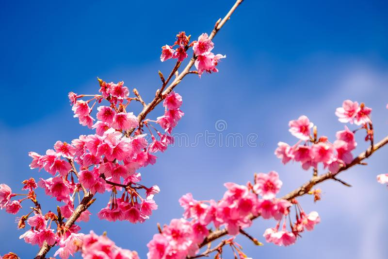 Pink Cherry Blossom Against Blue Sky stock image