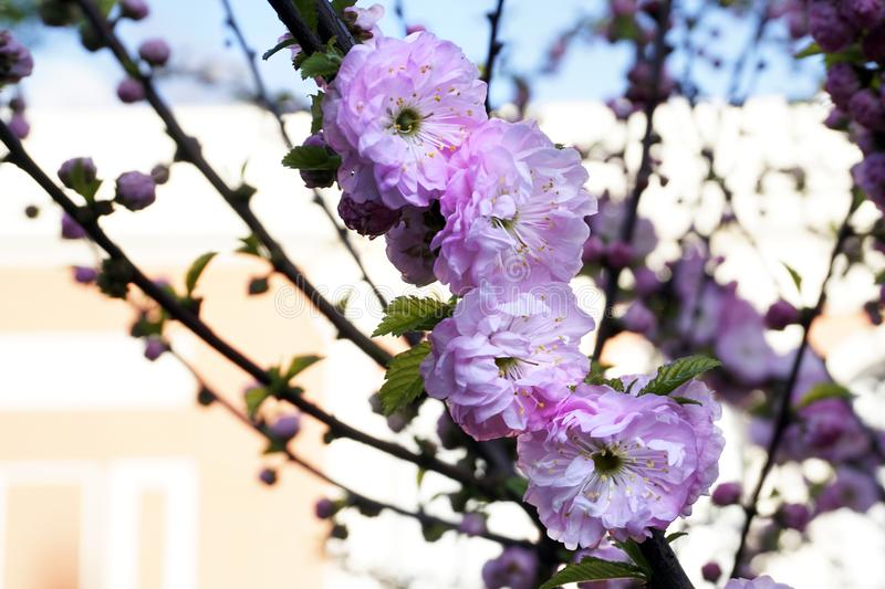Pink cherry blossom, blooming sakura flower in spring royalty free stock images