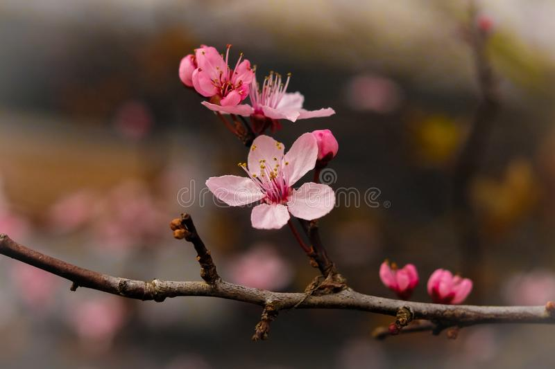 Fragile Cherry-blossom in spring. Pink Cherry-Blossom in the center of attention on blurry background, very fragile but all sharp and full of details royalty free stock photos