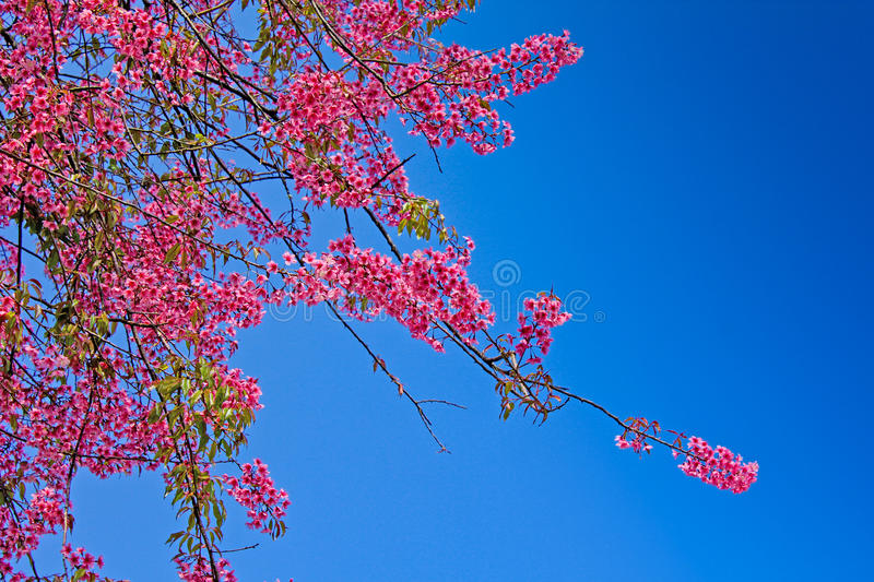 Pink Cherry Blossom flower with blue sky. In Thailand royalty free stock images