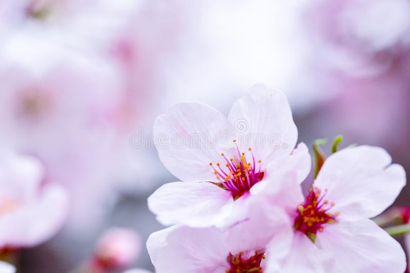 Pink cherry blossom flower stock photography