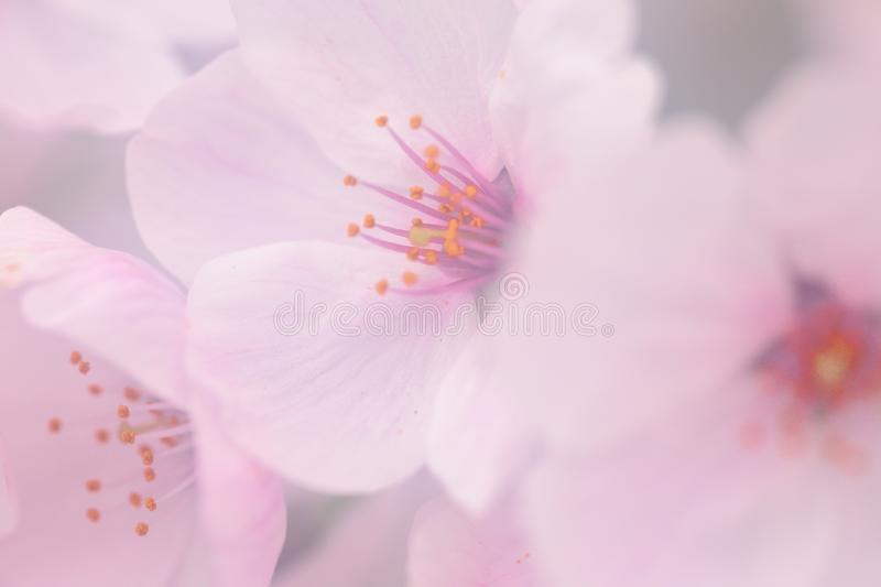 Pink cherry blossom flower stock image