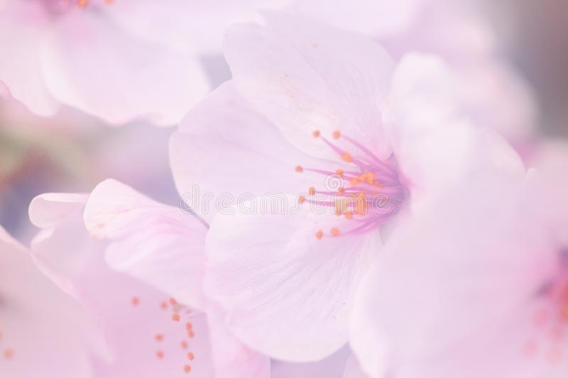 Pink cherry blossom flower royalty free stock images