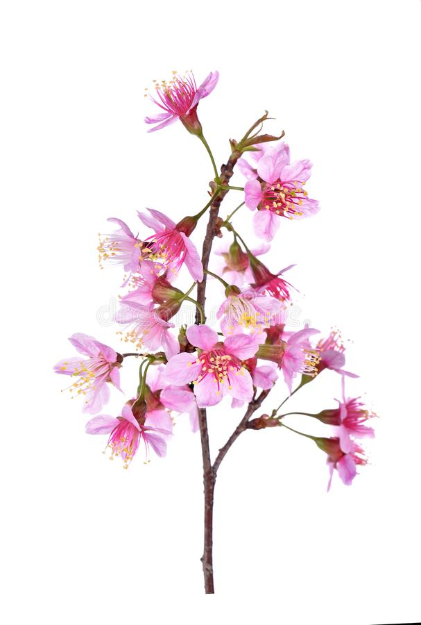Pink Cherry blossom flowers white background royalty free stock photos