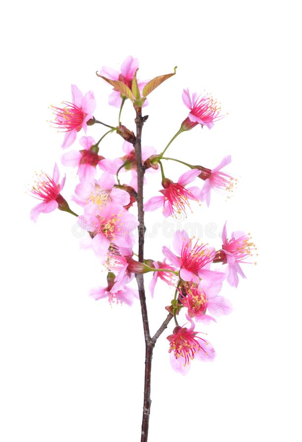 Pink Cherry blossom flowers white background royalty free stock photography
