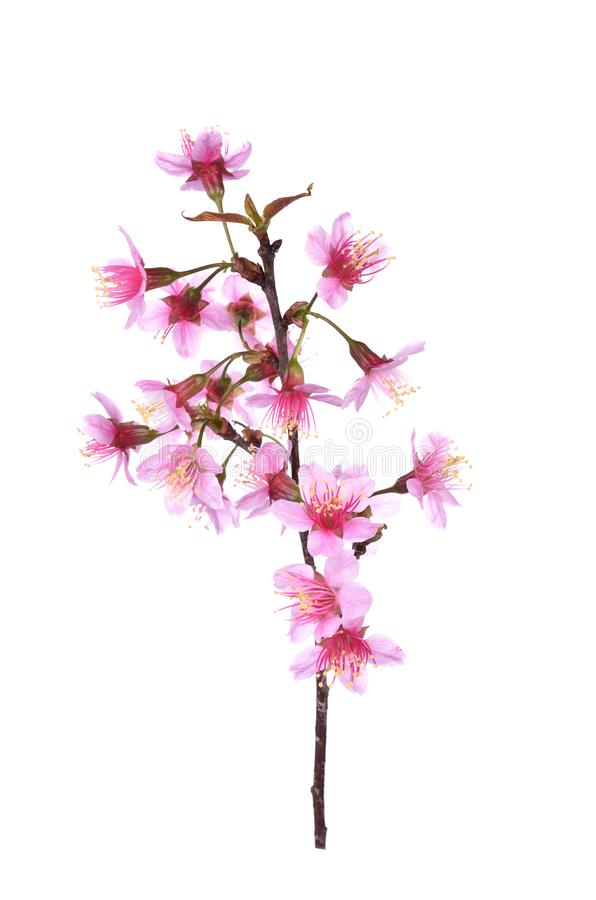 Pink Cherry blossom flowers white background royalty free stock images