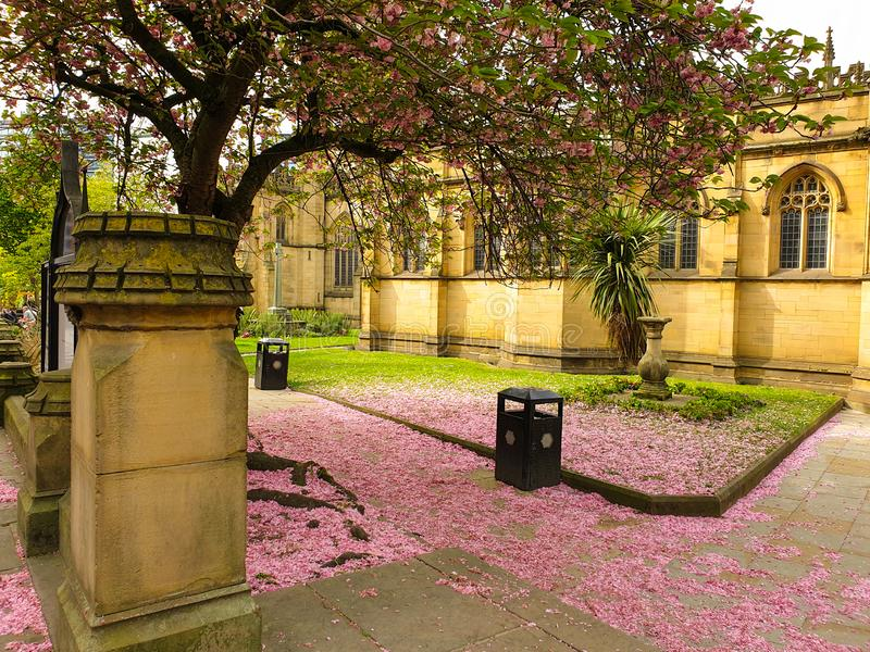 Pink cherry blossom petals covering the ground under a sakura tree outside Manchester Cathedral royalty free stock image