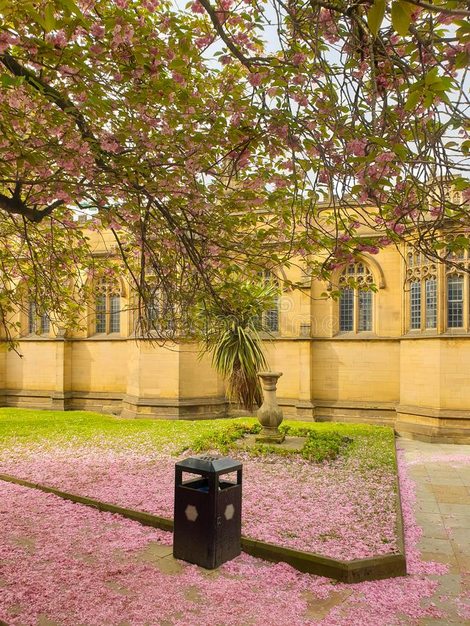 Pink cherry blossom petals covering the ground under a sakura tree outside Manchester Cathedral royalty free stock photography