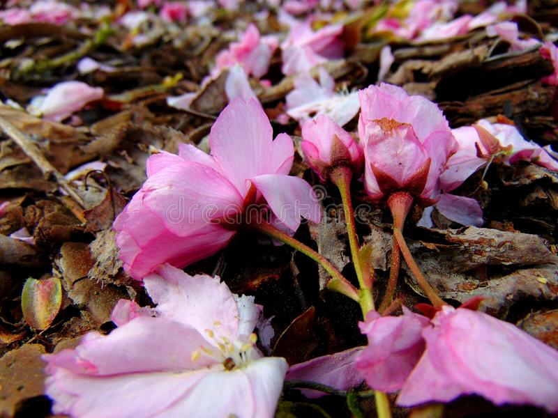 Pink cherry blossom petals laying on a ground of bark royalty free stock images
