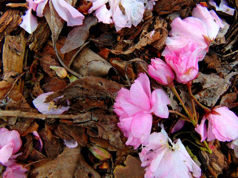 Pink cherry blossom petals laying on a ground of bark stock photos