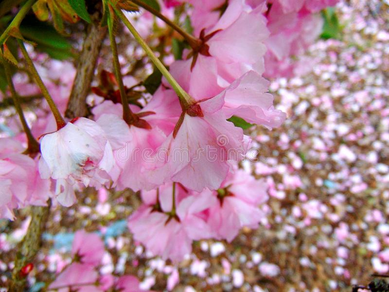 Pink cherry blossom petals laying on a ground of bark royalty free stock photos