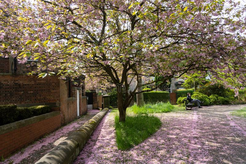 Pink Cherry Blossom Petals Underneath a Tree. A man sat on a wooden seat next to a path and grass verge covered in Pink Cherry Blossom petals,Harrogate,North stock photography