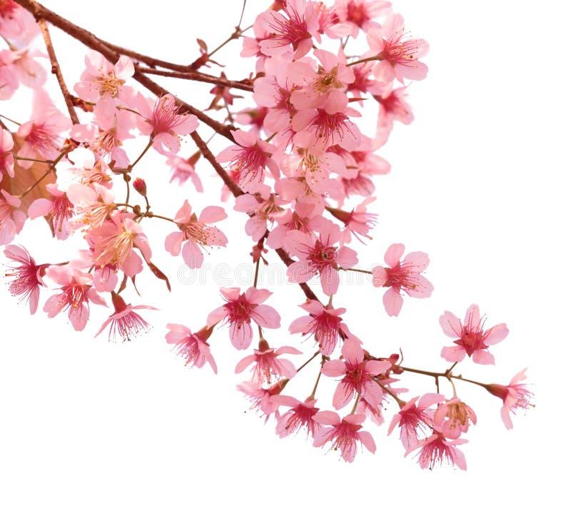 Free Pink Cherry Blossom Sakura Royalty Free Stock Photo - 37224425