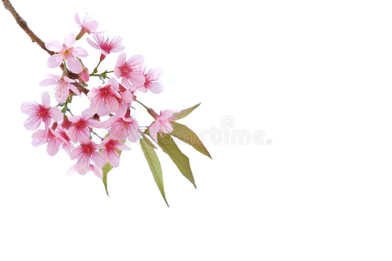 Pink Cherry blossom, sakura flowers isolated. On white background royalty free stock photos