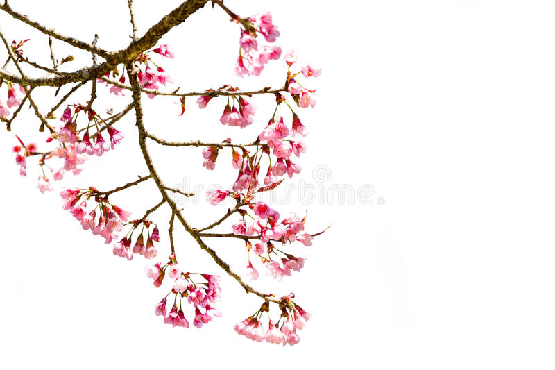 Pink Cherry blossom or sakura flowers. On white background royalty free stock photo