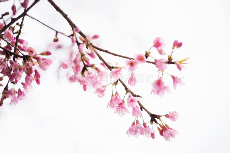 Pink Cherry blossom or sakura isolated on white stock images