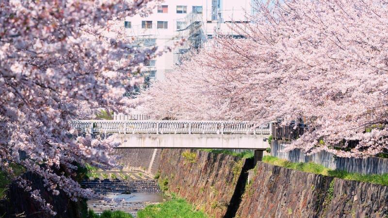 Pink cherry blossom or sakura, Nagoya. White bridge surround by pink cherry blossom or sakura flowers full bloom along Yamazaki River, Nagoya, Japan. Famous royalty free stock images