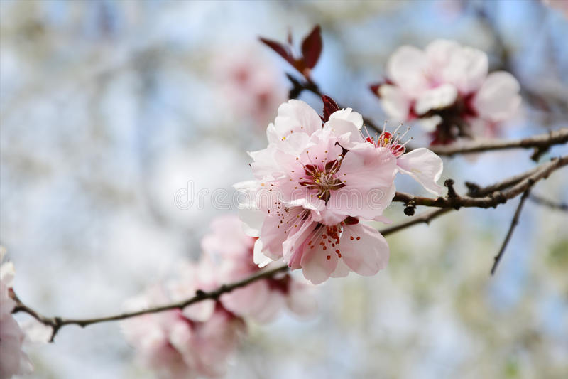 Pink cherry blossom Sakura on tree branch. Sakura pink cherry blossom on tree twig over blurred spring background royalty free stock photos