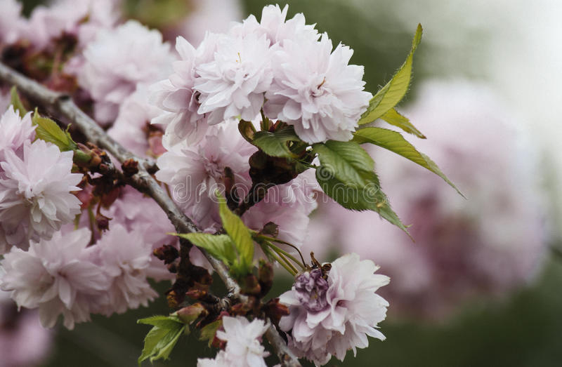 Pink cherry stock image
