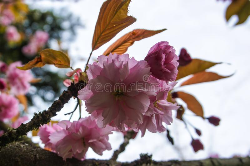 Pink cherry blossom on a tree stock photos