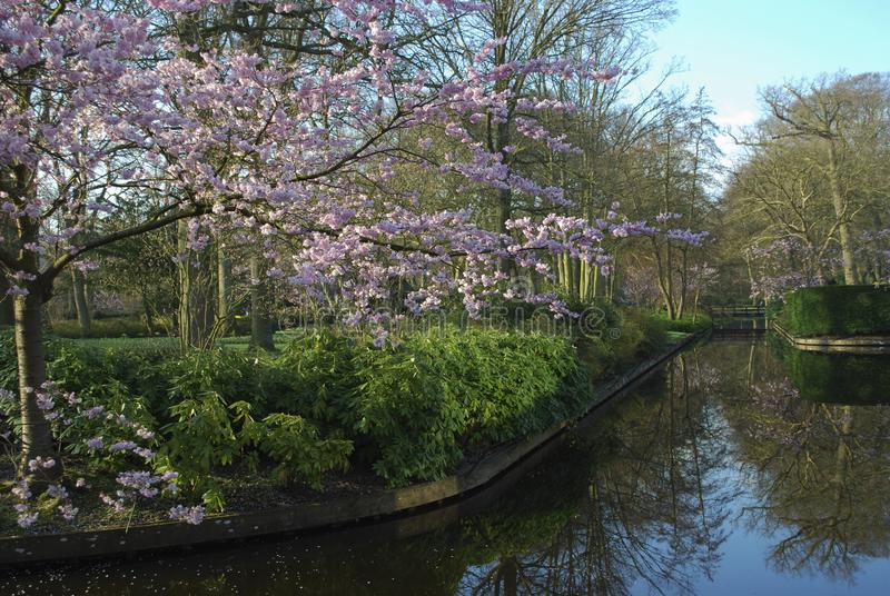 Pink cherry blossom tree grows on the river side in the park. Spring time in Netherlands royalty free stock images