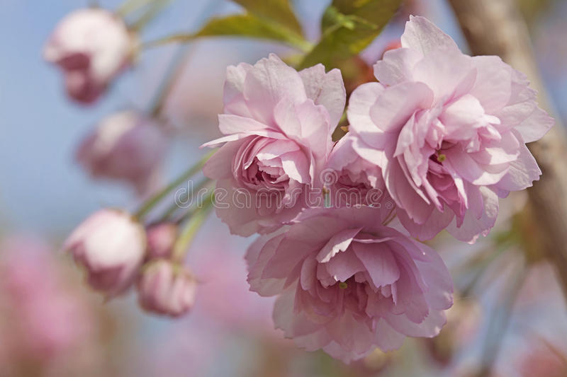 Pink cherry blossom tree royalty free stock image