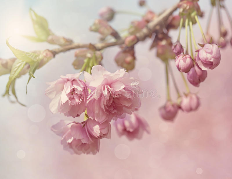Pink cherry blossom tree. In spring royalty free stock images
