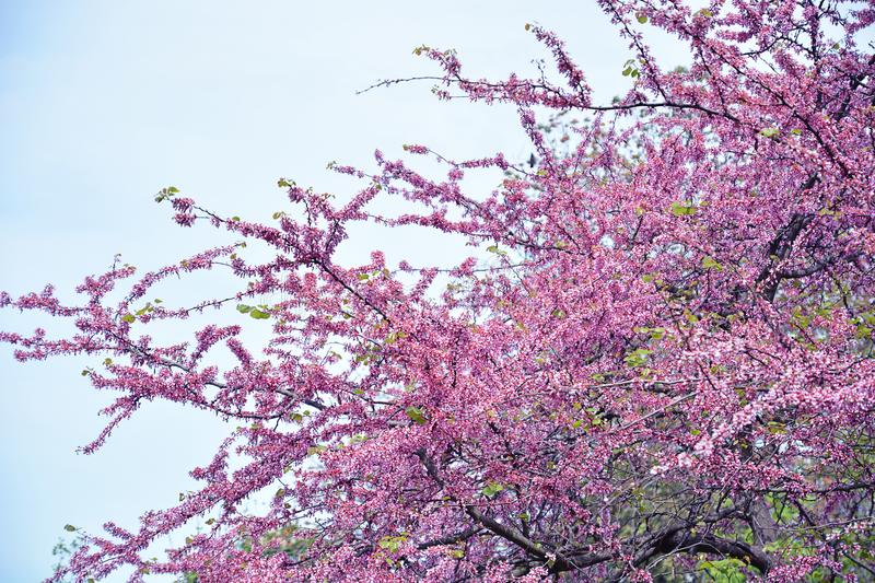 Pink cherry blossom tree. Cherry blossom in spring for background stock image