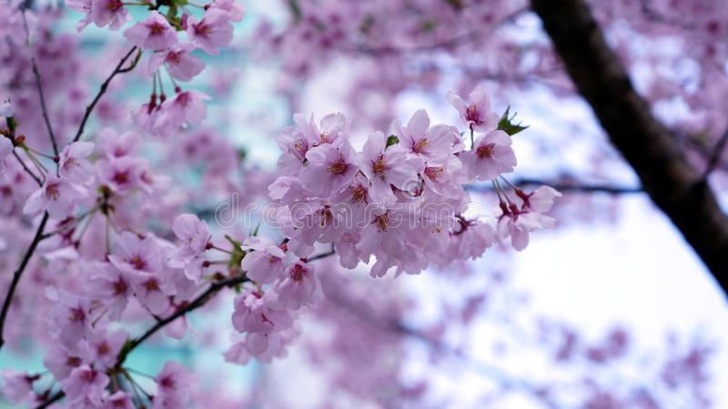 Pink cherry blossom under blue sky royalty free stock photos