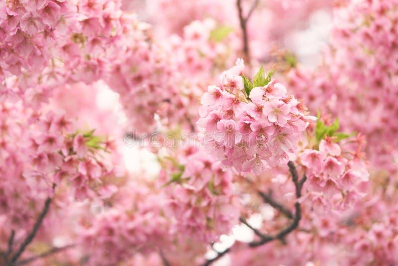 Pink Cherry Blossomcherry Blossom Japanese Flowering Cherry On