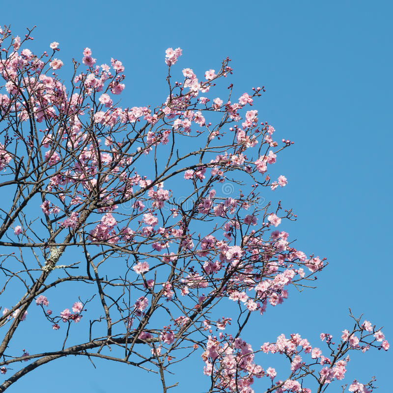 Pink Cherry Blossoms Against Blue Sky In Spring Stock ...