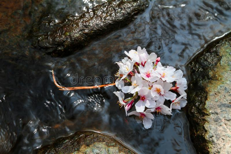 Pink cherry blossoms float on the water surface stock photography