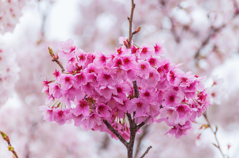 Pink Cherry Blossoms. In Full Bloom,Japan royalty free stock images