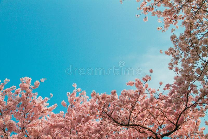Pink cherry blossoms have a blue sky as a beautiful background royalty free stock photo