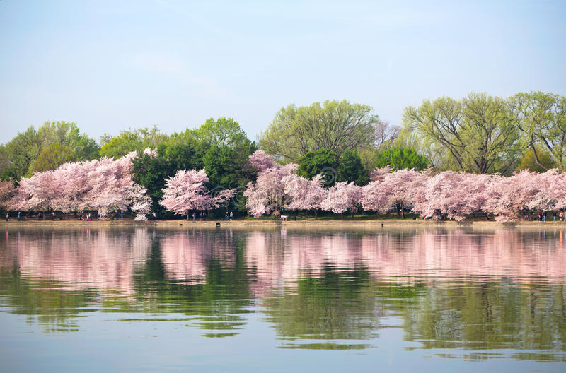 Pink cherry blossoms in Washington DC royalty free stock photos