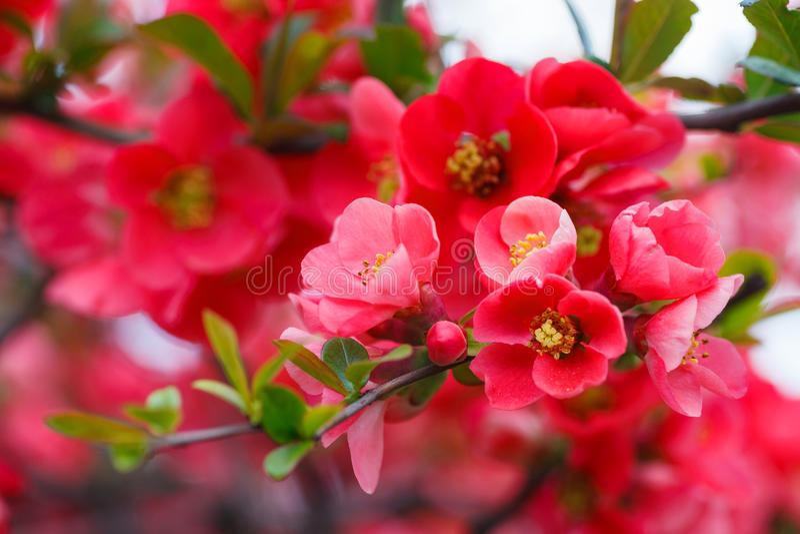 Pink cherry flowers stock photo