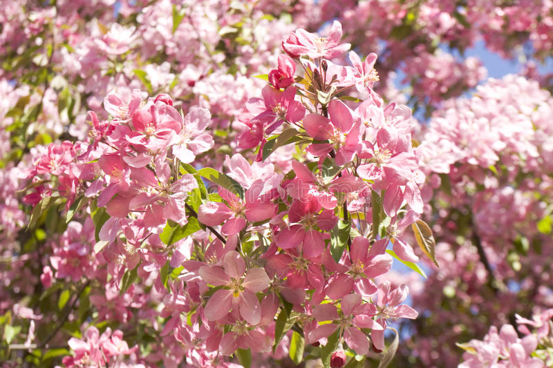 Pink cherry flowers royalty free stock photos