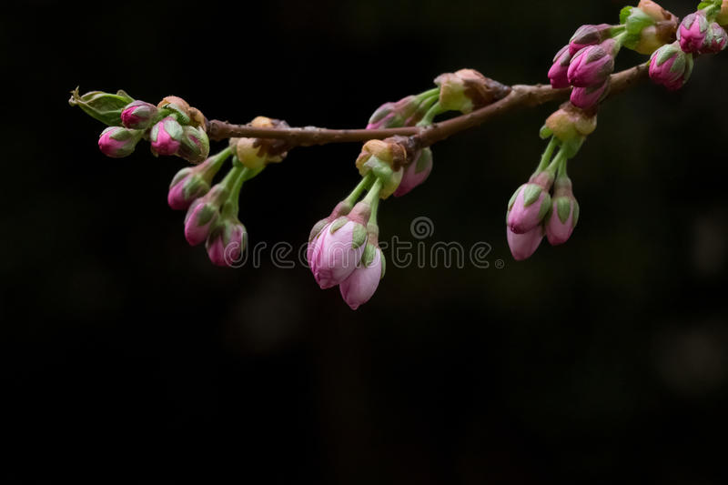 Pink cherry tree branch with dark background stock photography