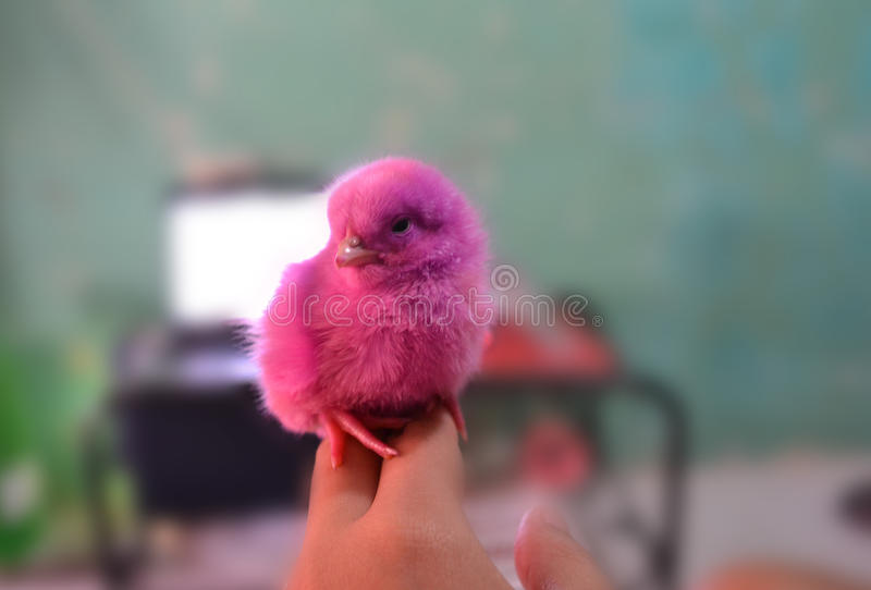 A Pink Chick royalty free stock photography