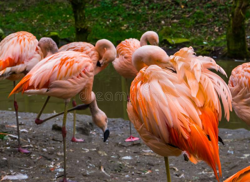 Pink Chilean Flamingo cleaning its feathers, Family of Flamingos together, Near threatened bird specie stock image