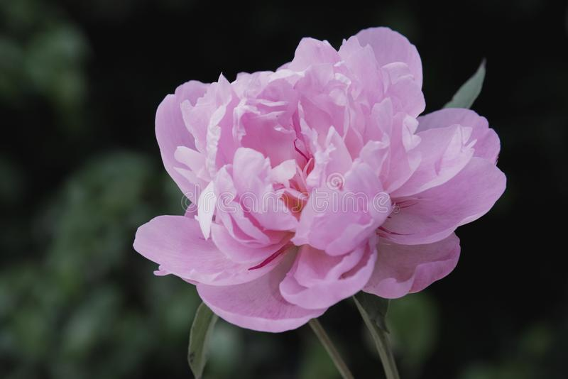 Pink chinese herbaceous peony royalty free stock photo