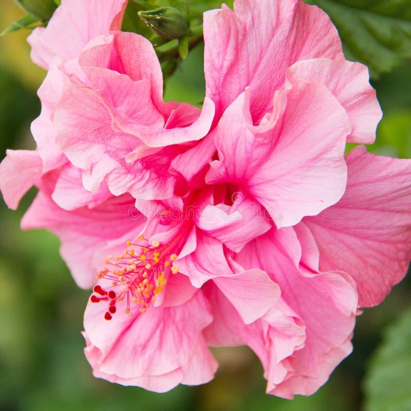 Pink Chinese Hibiscus tropical flower closeup, California, Malvaceae, Hibicus rosa-sinensis, Hibiscus Chinese rose royalty free stock photo