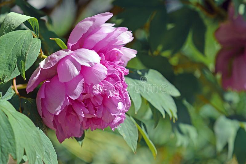 Pink Chinese peony flower in full bloom in early spring stock photo