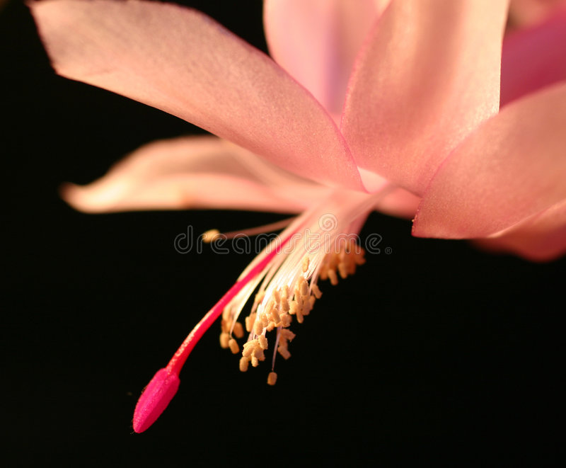 Pink christmas cactus flower royalty free stock photo