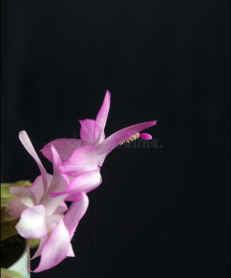 Pink Christmas Cactus. Schlumbergera or Christmas Cactus is possibly the second most popular houseplant for the holiday season. Schlumbergera is the correct royalty free stock image