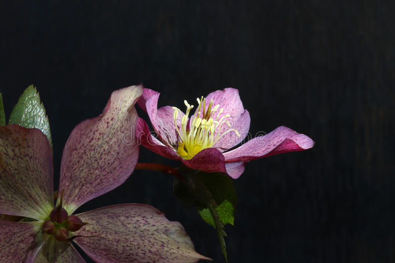 Pink Christmas rose Hellebore niger flowers stock photography