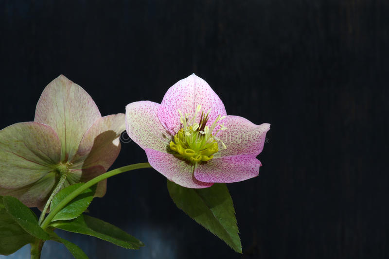 Pink Christmas rose Hellebore niger flowers royalty free stock photo