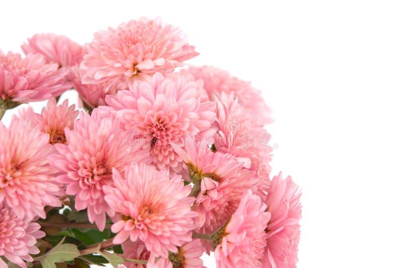 Download Pink chrysanthemum stock photo. Image of nobody, chrysanthemum - 22250688